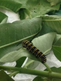 Chowing down on Milkweed